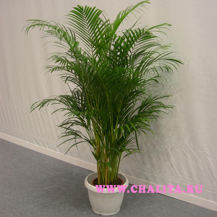 Пальма арека кустовая пальма высотой