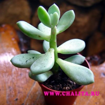 Толстянка - комнатное растение